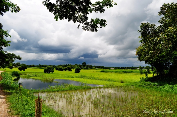 Paddy & Mustard fields